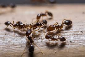 The Natural Way to Clear Your House of Ants
