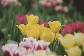 can you save tulip bulbs after the flowers die hunker