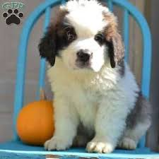 Do Smooth Coat St Bernards Shed by Saint Bernard Puppies For Sale In De Md Ny Nj Philly Dc And Baltimore