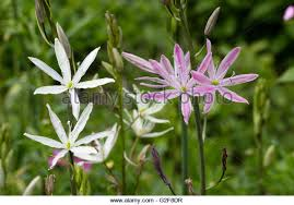 camassia leichtlinii garden stock photos camassia