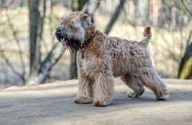 Do Wheaten Terriers Shed 10 dog breeds that hardly shed at all u2013 iheartdogs com