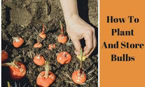 how to plant and store bulbs