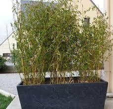 entretien des bambous en pot entretien bambou noir pivoine etc