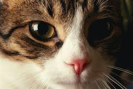 cat runny nose what color are most cat noses pets