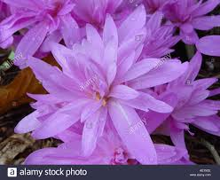 colchicum autumnale water autumn crocus winter flowering bulb