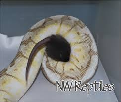 Ball Python Shedding Eating by 100 Ball Python Shedding Eating Cinnamon Ball Python For