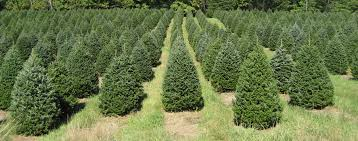 What Kind Of Trees Are Christmas Trees by Welcome To Finestkind Tree Farms In Dover Foxcroft Maine Maine