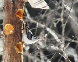5 Tips for Filling Your Suet Log Bird Feeder The Zen Birdfeeder
