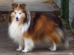 109 best shetland sheepdog images on pinterest shetland sheepdog