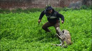 100 Cheetah Trucking Panicked Leopard Goes On Rampage In Indian Village KEYT