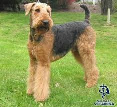 Do Airedale Puppies Shed by Airedale Terrier Complete Breed Information And Photos