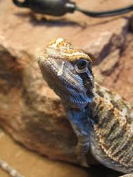 white substance coming out from nostrils pics bearded dragon