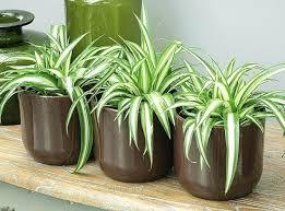 plante dans chambre à coucher quelle plante pour une chambre chlorophytum quelle plante verte pour