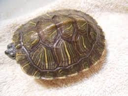 turt shell cond f 17