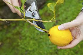 cutting back lemon trees learn when and how to prune a lemon tree