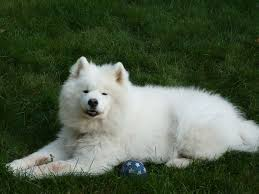 Do Samoyed Dogs Shed Hair by Soccer Jpg