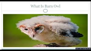 What Is Barn Owl - YouTube Barn Owl Outdoor Alabama Owl Wikipedia Trust On Twitter Cservation Handbook A Wednesday Birdnation Wirral Home Facebook Audubon Field Guide Review Course By Martin Oconnor Arbtech Legal Status The Rspb Eastern Singapore Birds Project Barnowltrust Owls Owls Of The Niagara Region