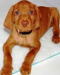 do vizsla dogs shed wirehaired vizsla breed