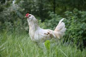 Chicken Breeds Egyptian With Ayam Cemani Black Rare Breed Fertile ... Breeding Golden Duckwing Marans Backyard Chickens Best 25 Hatch Eggs Ideas On Pinterest Candling Chicken Easter Egger Or Olive Eggar Hatching Types Of Chickens Backyard Chicken Zone Black Copper Marans Hatching Eggs 12 2017 Groundhog Day Hatchalong The Chick Veterinary Care For A Best Tavuk Biefelder Images 229 9 Euskal Oiloa Marranduna Basque Hen Elite Poultry Truth About Pumpkin Seeds Worms Is My Pullethen Erelcock