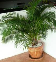 golden palm in pots beautiful butterfly or areca palm