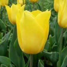 tulip yokohama 25 bulbs or buy in bulk winter bulbs