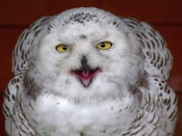 Things You Always Wanted To Know About Keeping Owls As Pets 55 Best Owl Images On Pinterest Barn Owls Children And Hunting Owls How To Feed Keep An Owlet Maya A Brief Introduction The Common Types Of Six Reasons Why You Dont Want An Owl As Pet Bird Introducing Gizmo Baby Whitefaced Youtube 2270 Animals 637 Oh Meine Uhus I Love Owls My Barn Cat Baby By Disneyqueen1 Deviantart All Things Nighttime Predator Cute Animals
