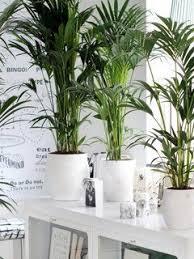 kentia palme kentia palme pflanzen dekor zimmerpflanzen