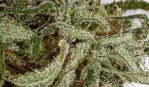 Northern Lights Cannabis Strain Info