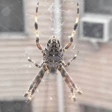 Spiders | Backyard And Beyond R2rustys Chatter September 2017 Ladybugs Backyard And Beyond Birdingand Nature Golden Silk Orb Weaver Spider In Bug Eric Sunday Black Yellow Argiope Glass Beetle By Falk Bauer A Backyard Naturalistinsects Ghost Spiders Family Anyphnidae Spidersrule C2c_wiki_silvgarnspider_hrw8q0m1465244105jpg Aurantia Wikipedia Two Views Sonoran Images Elephant Tiger Skin Spiny Blackandyellow Garden Mdc Discover Power Animal For October Shaman Amy Katz