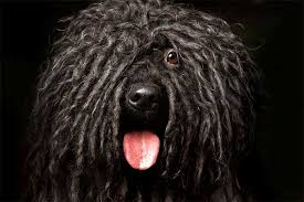 30 Dog Breeds That Shed The Most by Puli Dog Breed Information Pictures Characteristics U0026 Facts