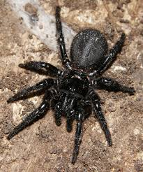 Mouse Spiders At Spiderzrule - The Best Site In The World About ... Spiders At Spiderzrule The Best Site In World About Spiders Barn Funnel Weaver Spider North American Insects Bug Eric Thinlegged Wolf Genus Pardosa Grass How To Tell If A Spider Is Not Brown Recluse Spiderbytes