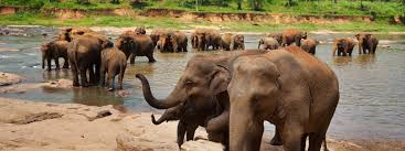 Elephants Bathing In Sri Lanka Dreamstime