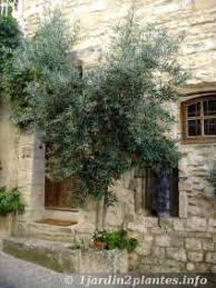 l olivier plantation culture et entretien
