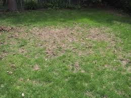 Daily Home Renovation Tips Vs The Moles – Part 1 – Damaging Our Lawn How To Get Rid Of Moles Organic Gardening Blog Cat Captures Mole In My Neighbors Backyard Youtube Animal Wikipedia Identify And In The Garden Or Yard Daily Home Renovation Tips Vs The Part 1 Damaging Our Lawn When Are Most Active Dec 2017 Uerstanding Their Behavior Mole Gassing Pests Get Correct Remedy Liftyles Sonic Molechaser Alinum Covers 11250 Sq Ft Model 7900