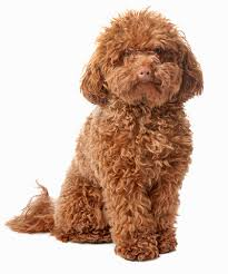 Large Dogs That Dont Shed by 35 Dog Breeds That Don U0027t Shed Small Medium U0026 Large Breeds
