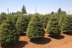 Christmas Trees Vancouver Wa by Noble Fir Coniferous Forest