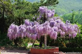 planting wisteria in a pot flower pots planters 100 seeds bag creepers wisteria seeds