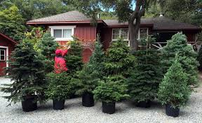 Christmas Tree Recycling Carmel Valley San Diego by Rent A Living Christmas Tree