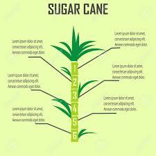 Sugar Cane Stock Vector