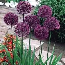 buy allium purple sensation j bulbs