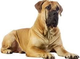 Do Bullmastiffs Shed A Lot by World U0027s Strongest Dog Breeds That Make Protective Companions