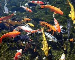 16 Best Koi Pond Images On Pinterest | Fish Ponds, Koi Ponds And ... Backyard Tilapia Fish Farm August 192011 Update Youtube Fish Farming How To Make It Profitable For Small Families Checking Size Backyard Catfish To Start A Homestead Or Commercial Tilapia In Earthen Pond 2017 Part 1 Preparation And Views Of Wai Opae Tide Pools From Every Roo Vrbo Sustainable Dig Raise Bangkhookers Fishing Thailand An Affordable Arapaima In Your Home Worldwide Aquaponics Garden Table Rmbdesign Guide Building A Growing Farm Sale Farming Pinterest