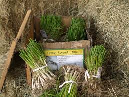 time to plant onions east gardening