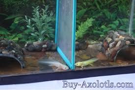 large aquarium rocks for sale axolotl aquarium buy axolotls