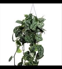 elpflanze scindapsus pictus
