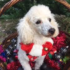 Small Non Shedding Dogs For Adoption by Poodle And Pooch Rescue Has Small Dogs For Adoption In Florida
