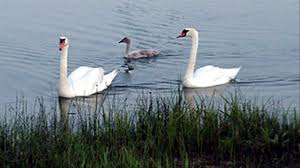 US Agency's Bid To Allow Trumpeter Swan Hunting Draws Fire Police Florida Man Kicks Swans Sleeping Duck While Practicing Swan Hill Fire Controlled The Guardian Toyota Hilux Animal Ambulance Carries Precious Cargo Uk Creek Landscaping Crew Our Fleet Equipment Pinterest Trumpeter Invade Valley Environmental Jhnewsandguidecom Schwans Company Wikipedia Blackburnnewscom Swans Found Dead At Luther Marsh 311216 Birdlog Frodsham Birdblog Tyreswanorama Car Wrecker Valley Perth Cash For Cars Removal Suburbs Rescue Southport Visiter
