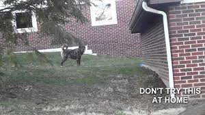 GUY GOES INTO NEIGHBOR'S BACKYARD AND OUTRUNS DOG(Don't Try At ... 100 Dog Escapes Backyard Run Ideas How To Build A To Guide Install Homer The Beagle Capes Home Heads Kids School Determined Cannot Be Fenced Im Not Stalking You Wearing Gopro Camera Jukin Media Annie The Heat Youtube Escape Artist Climbs Fence Creative Country Scenes Coloring Book For Adults Adult Qa More Help Dogfriendly Gardens Sunset Funny Puppy Kennel