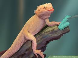 how to care for bearded dragons with pictures wikihow
