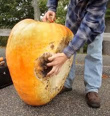 Portland Maine Pumpkin Patch by Giant Pumpkin Oh Rot Portland Press Herald